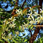 Margosa | Extrakt gegen Zecken, Milben, Flöhe & andere Schädlinge