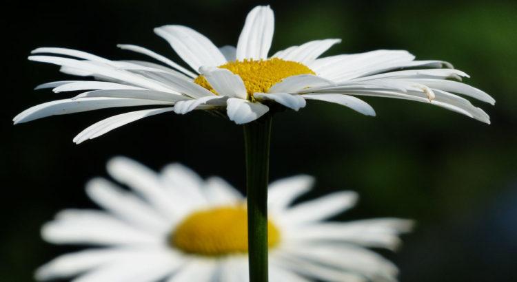 Pyrethrum Mutterkraut gegen Zecken Insekten