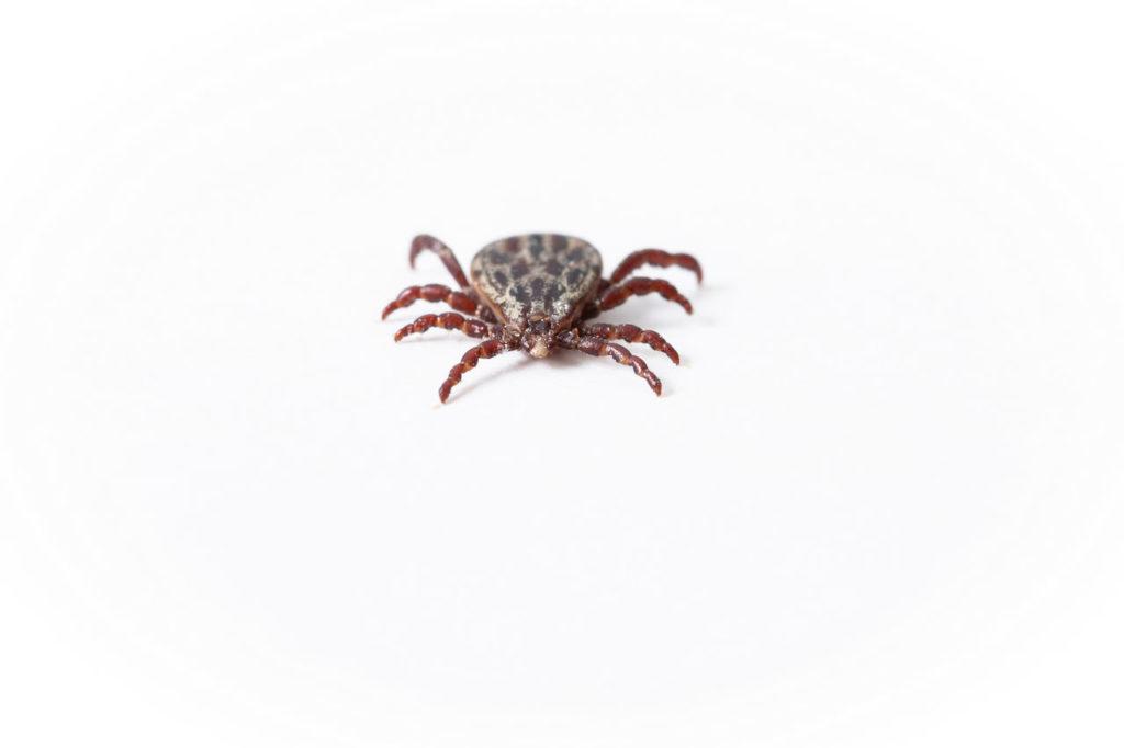 Zecke Icaridin gegen Insekten Spinnentiere