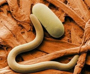 Fadenwürmer natürliche Feinde von Zecken