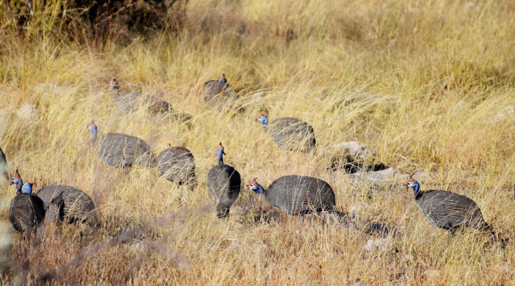 Perlhühner natürlich Feinde von Zecken