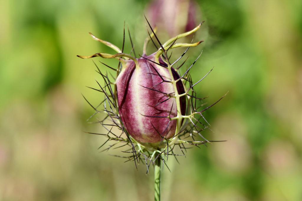 Schwarzkümmel Samen Kapsel