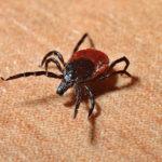 Gemeiner Holzbock (Ixodes Ricinus): Erkennen & Gefahren Verbeugen | Tipps & Tricks