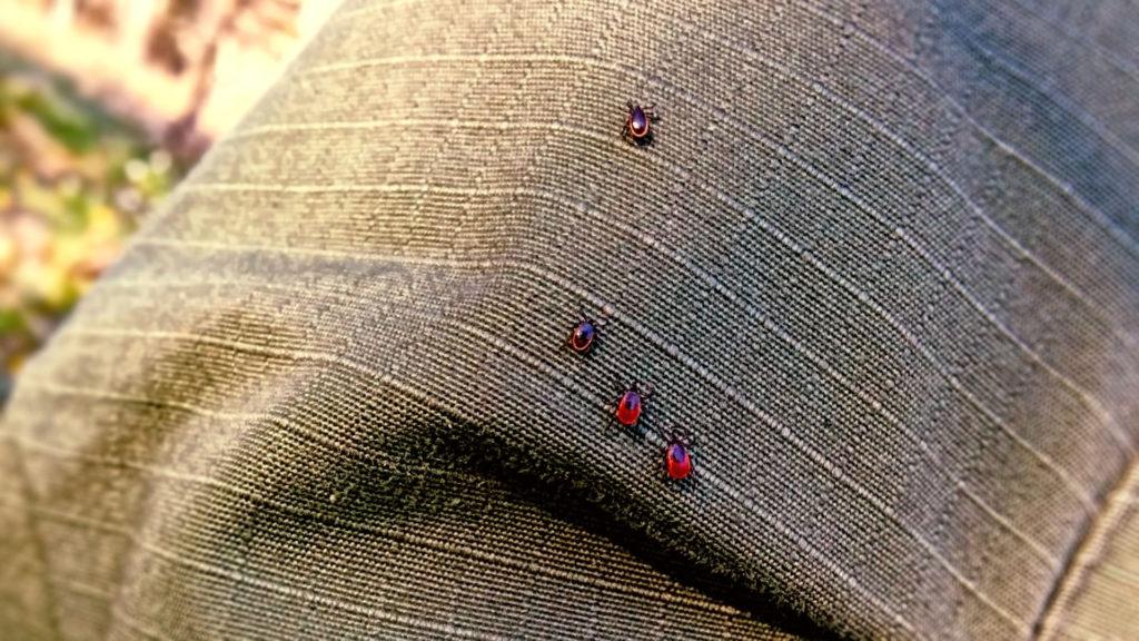 Holzbock Männchen und Weibchen auf Kleidung