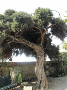 Melaleuca alternifolia Teebaum