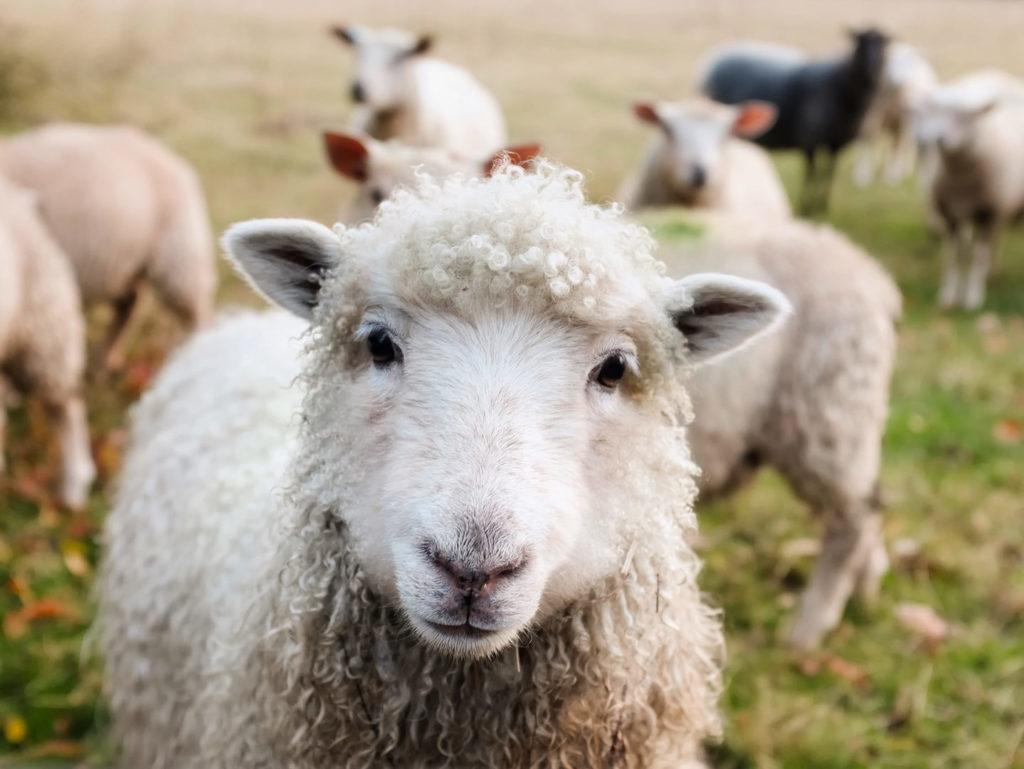 Schafe gegen Zecken schützen