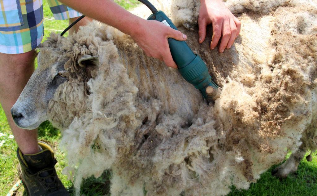 Schafe und Schafzecke Q-Fieber Übertragung