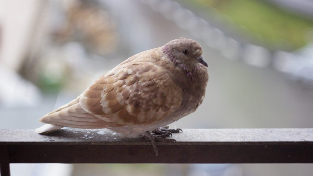 Taube auf einem Balkon