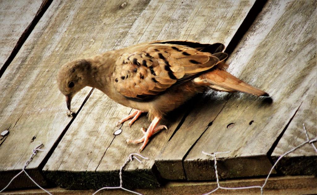 Taube auf Dach