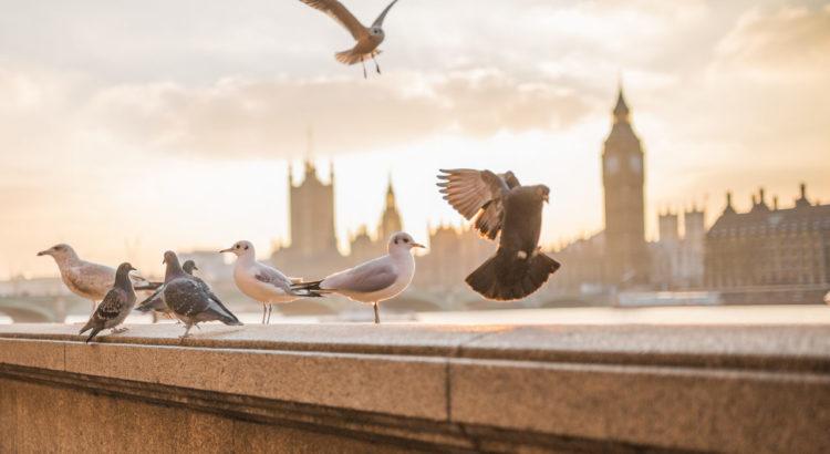 Taubenzecken Dach Tauben