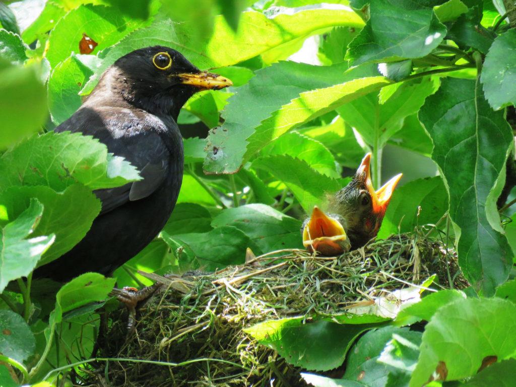 Vogelnest Amsel Junge