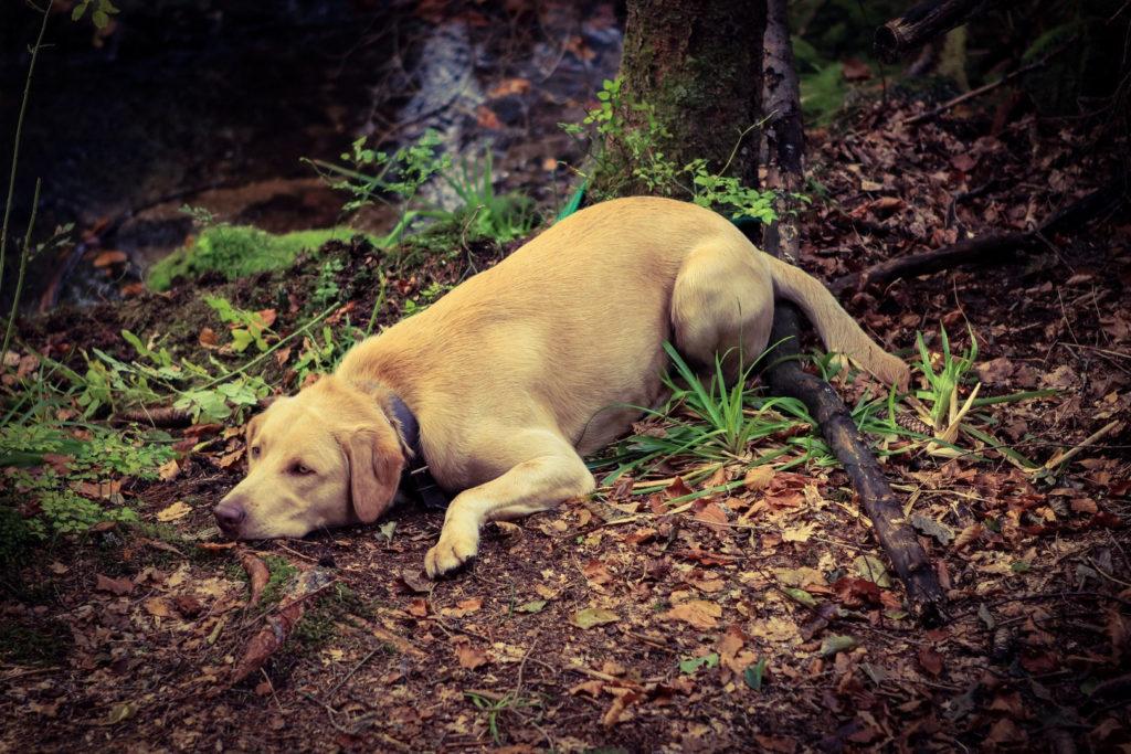 Auwaldzecke Hund Wirtstier