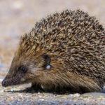 Igelzecke: Verbreitung und Merkmale | Gefahren für Mensch & Tier | Tipps zur Vorbeugung