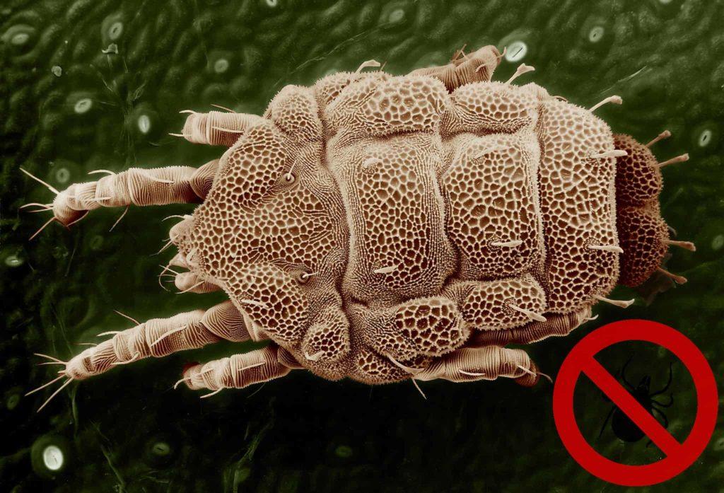 Gelbe Milbe Makro Parasit Nutzen