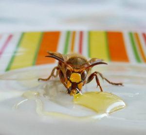 Hornisse frisst Honig