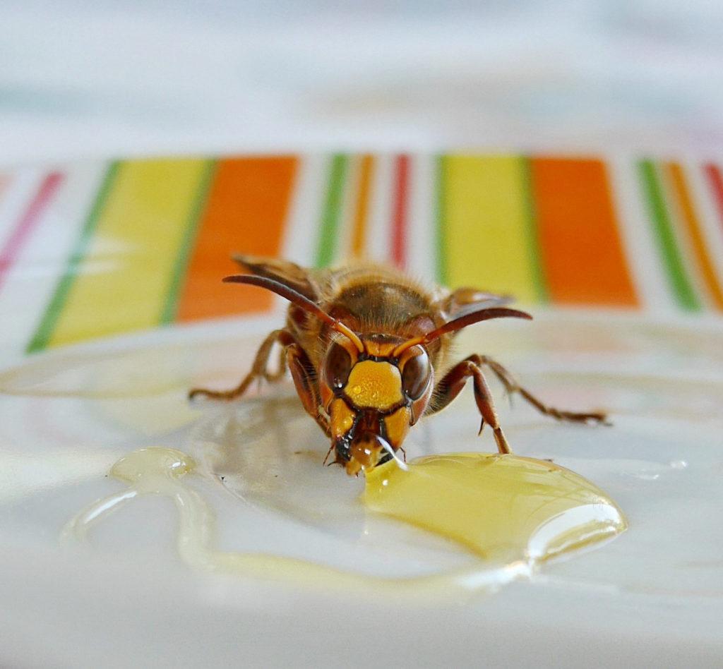 Wespe frisst Honig