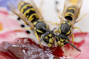 Wespen fliegen auf Marmelade