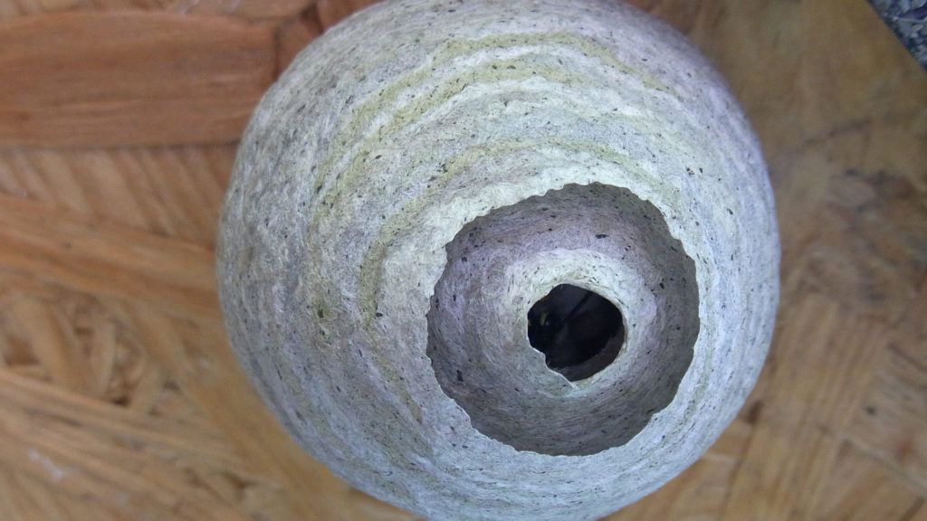 Nest der Papierwespen