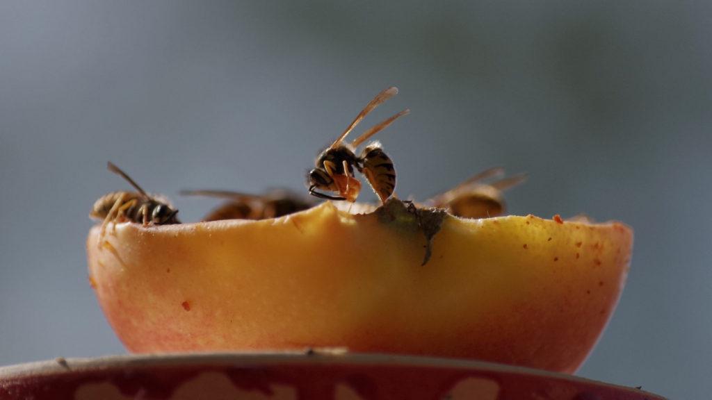 Wespen fressen an einen Apfel.