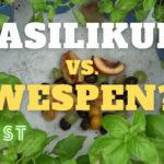 Basilikum gegen Wespen im Praxistest | Vertreibt Basilikum Wespen?